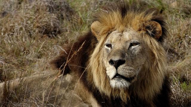 Un leone nell'Addo Elephant Park.