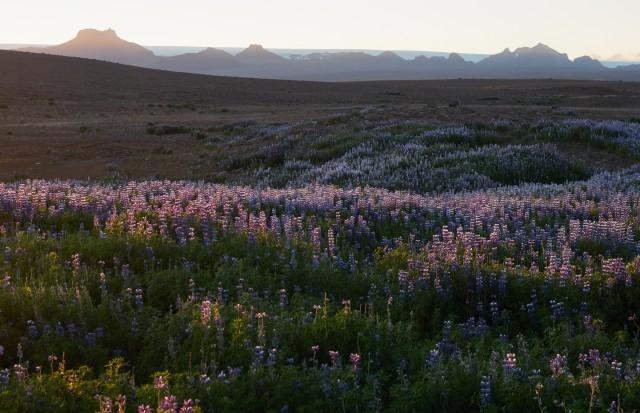 La strada è spesso bordata da Alaskan Lupin, fiori azzurri importati per scommessa dall'Alaska e che ora crescono dappertutto.