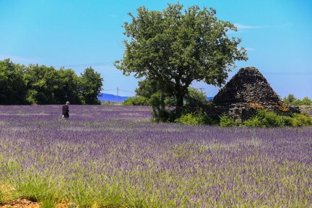 Campi di lavanda ondeggiano per chilometri durante la fioritura nel tardo giugno. Per conoscerne tutti i segreti,c'è ilmuseo di Coustellet, fondato nel 1991 da Georges Lincelé.