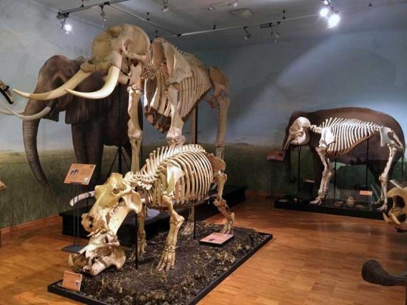 Lo scheletro di elefante e di altri animali in mostra al Museo di Storia naturale di Trieste.