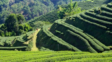 Tea-Plantations-at-Mae-Salong-Fabrizia-Postiglione-106