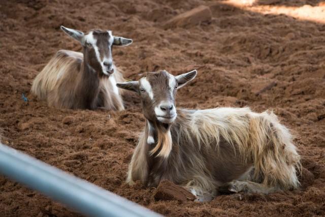 Sono presenti stalle con 200 animali, mucche, galline ovaiole, cinque razze diverse di suini, 12 pecore da latte e un agnello, capre, asini, e Luana e Isotta, le cavalle.