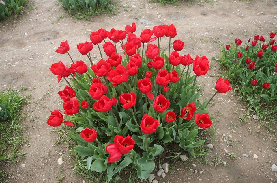 Tulipani in fiore alle porte di Milano