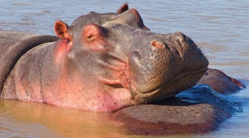 Close up of a Hippo Wallowing