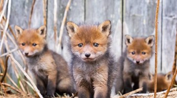 animali-finlandia