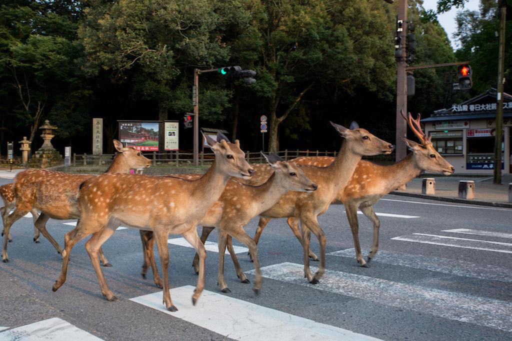 Cervi in città a Nara