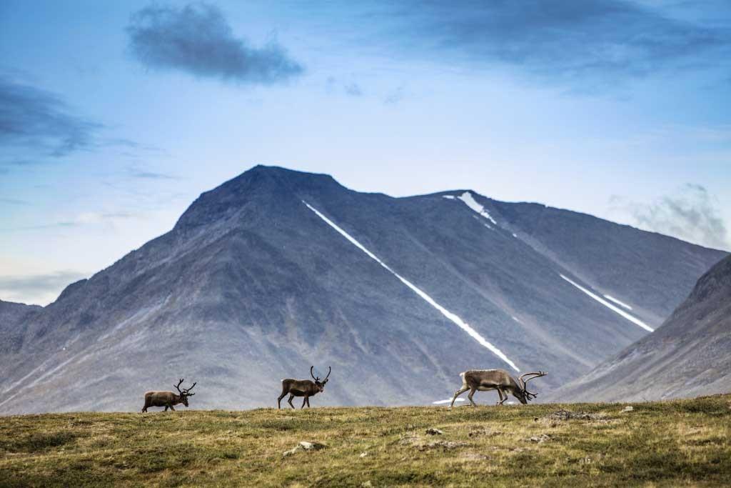 Durante il Fjällräven Classic non è raro incontrare branchi di renne