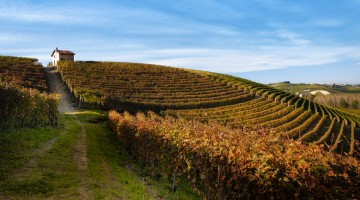 Autumn walk after harvest in the hiking paths between the rows and vineyards of nebbiolo grape, in the Barolo Langhe hills