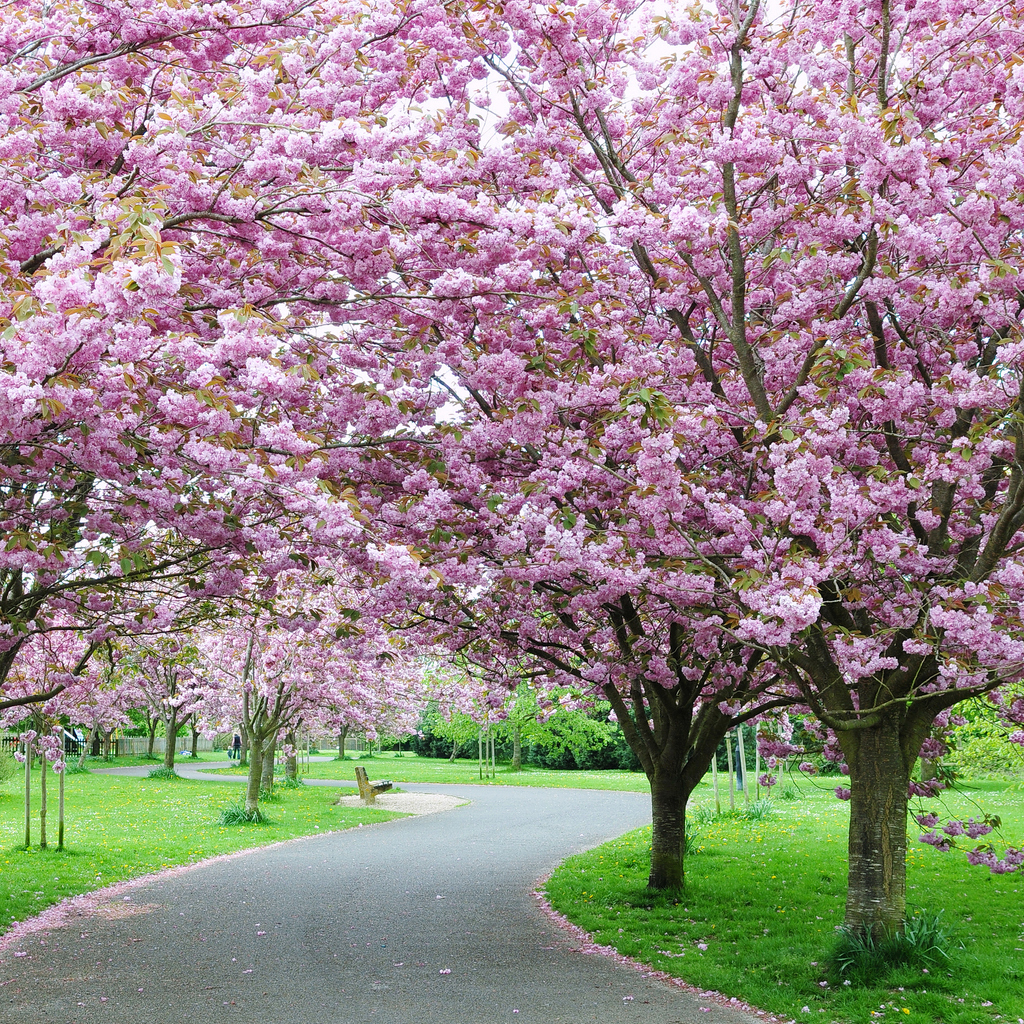 Le foto dei ciliegi in fiore in Giappone (quest'anno ancora più belli e più lontani)