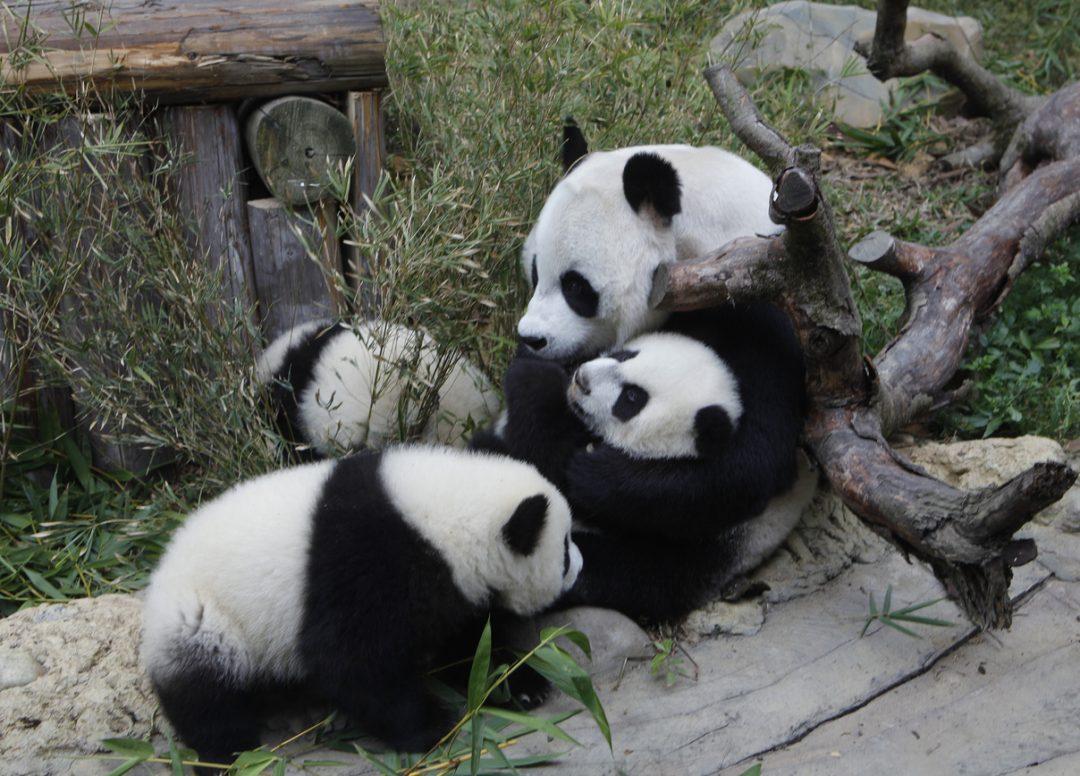I tre panda cinesi