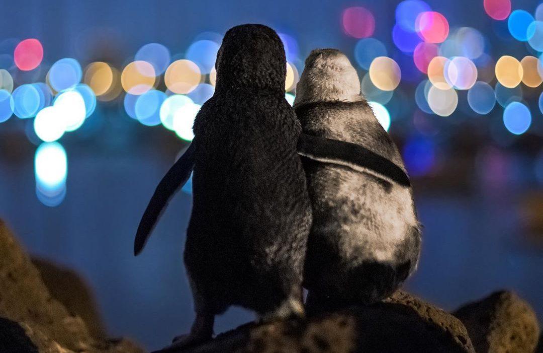 I due pinguini si consolano mentre contemplano lo skyline di Melbourne (ph: Tobias Baumgaertner)