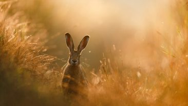 foto di lepre vincitrice del GDT Nature Photographer of the Year