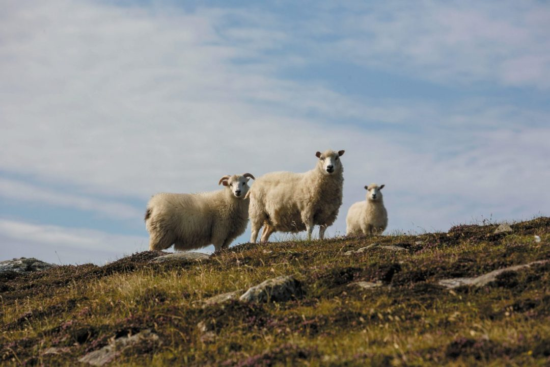 Alla scoperta delle isole Shetland, tra pecore, aurora boreale e riti vichinghi