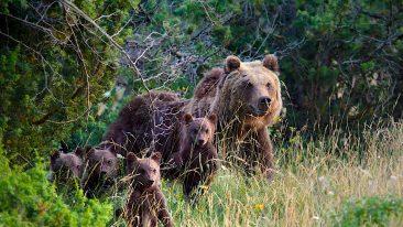 Parco Nazionale d'Abruzzo: Orso bruno marsicano e cuccioli