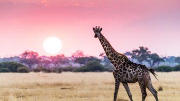 Giraffe: altezza, come dormono, lingua e altre curiosità