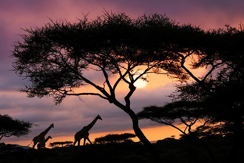 Giraffe: dalla lingua all'altezza, tutte le curiosità