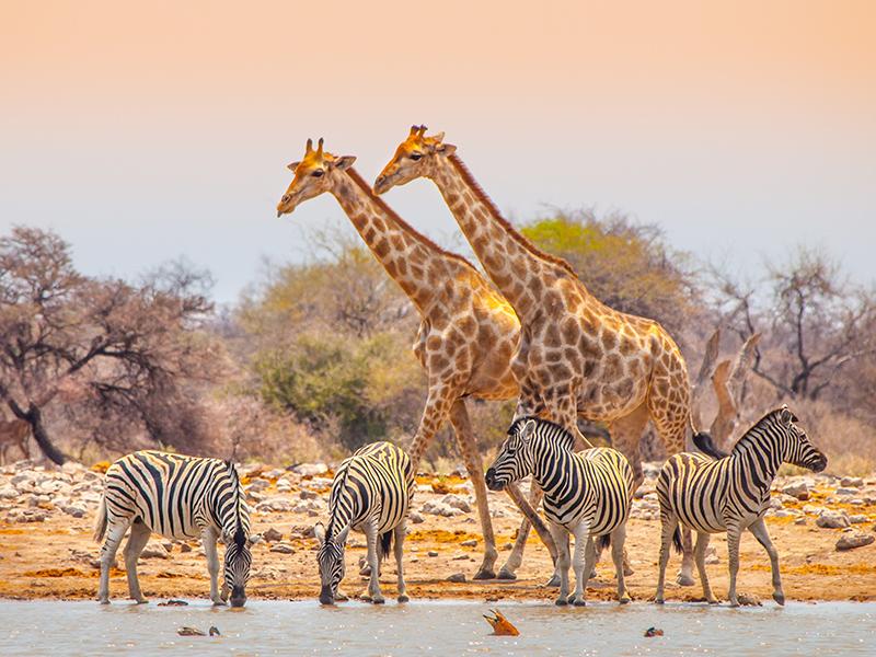 L'altezza della giraffa