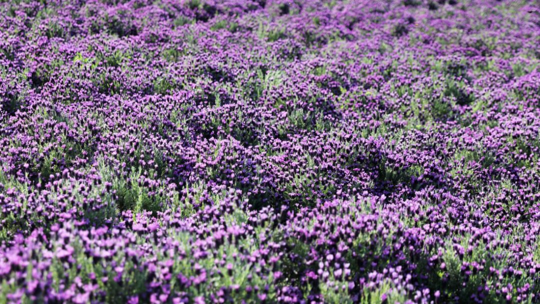 Corea del sud, l'isola tutta viola (che dà un tocco di colore inconfondibile alle foto sui social)