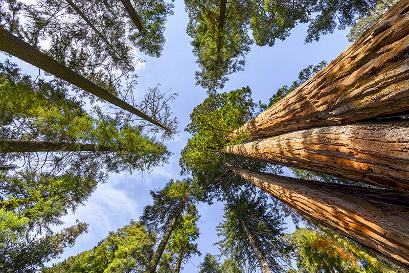 L'albero più alto del mondo: Hyperion, Stati Uniti