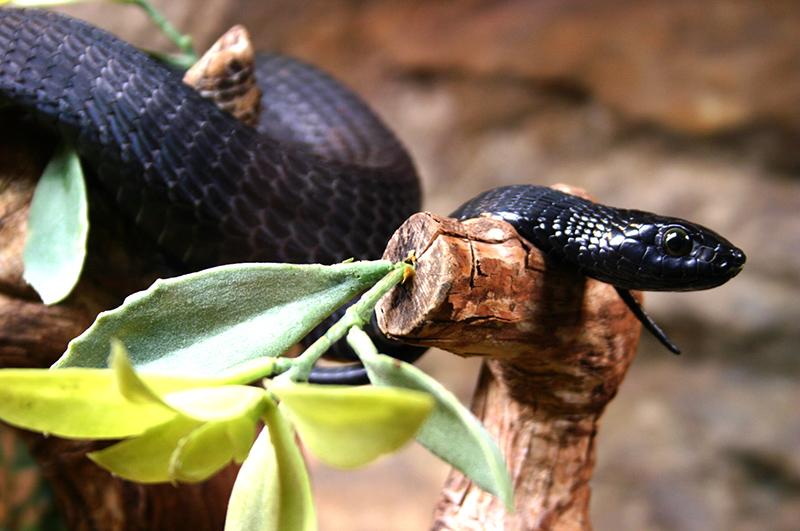 Serpenti velenosi: temibili, letali, ma timidissimi. Tutte le curiosità