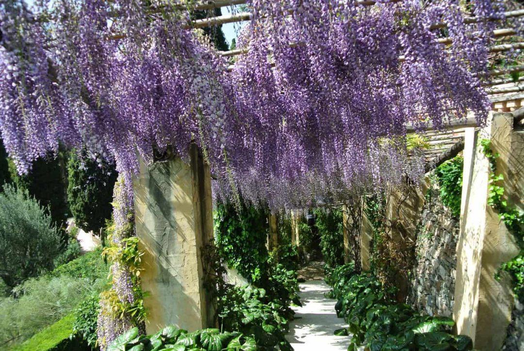 I glicini dei Giardini di Villa della Pergola ad Alassio - Liguria