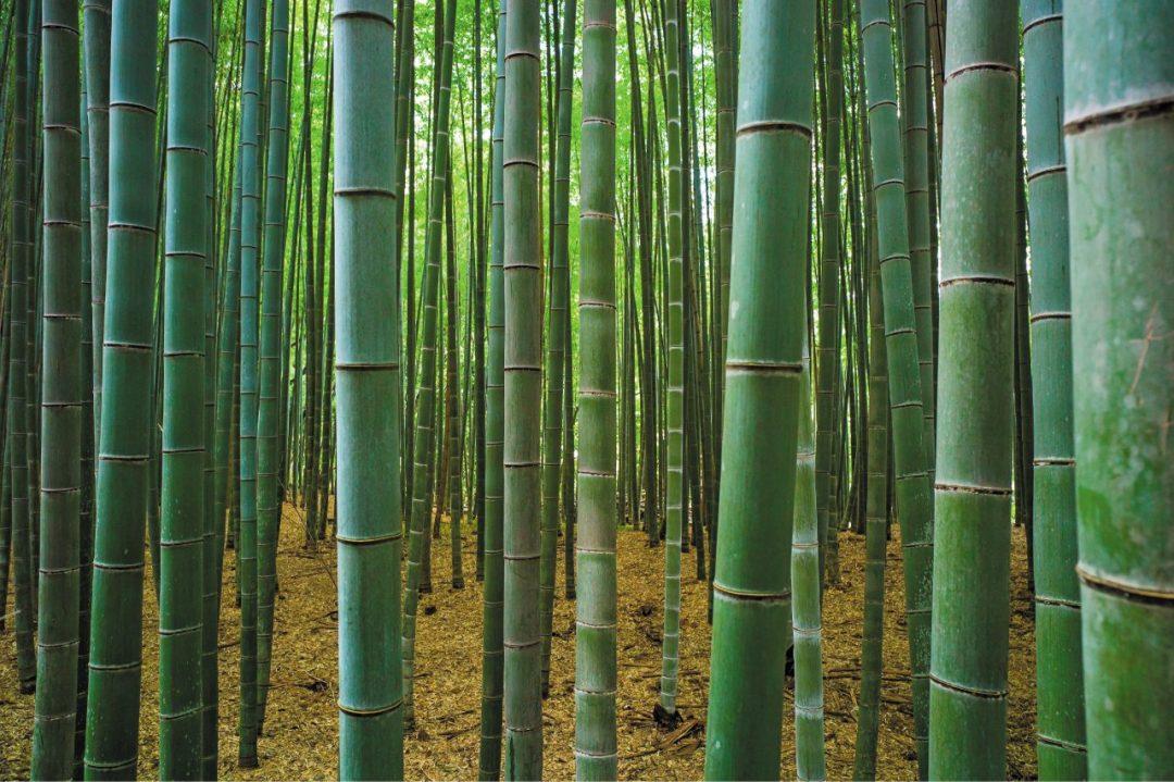 La forza del bambù