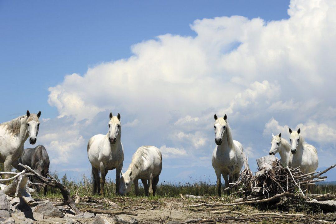 I cavalli dell'Isola della Cona