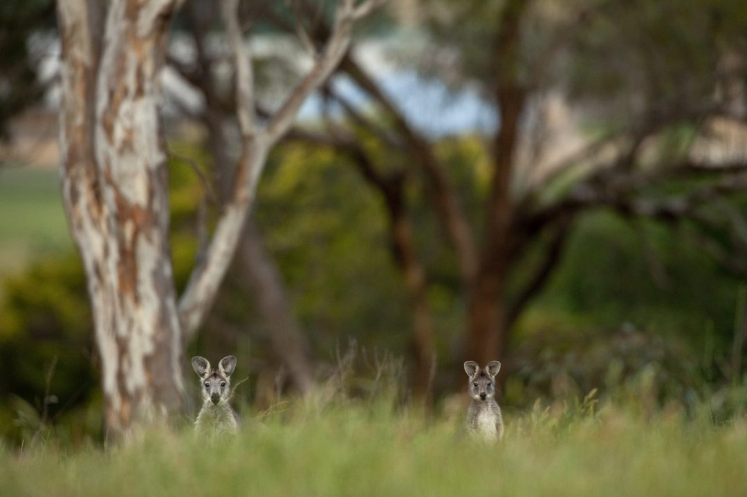 Canguro nella zona delle Greater Blue Mountains