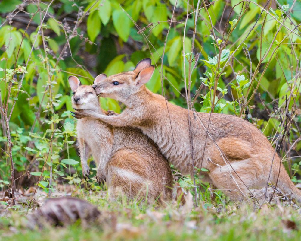 Dove avvistare i canguri in natura