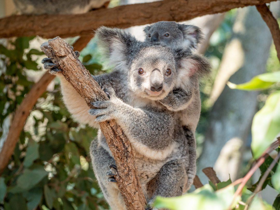 Dove avvistare (e coccolare) un koala in Australia