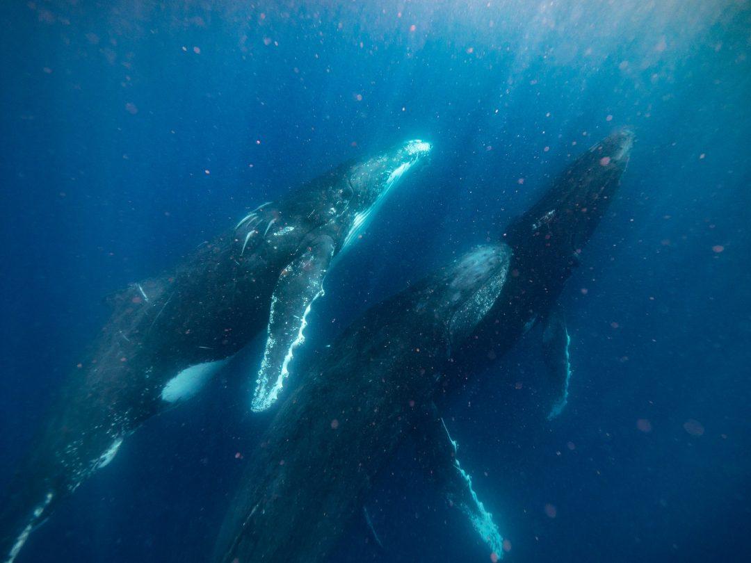 Dove avvistare le balene, i giganti dell'oceano