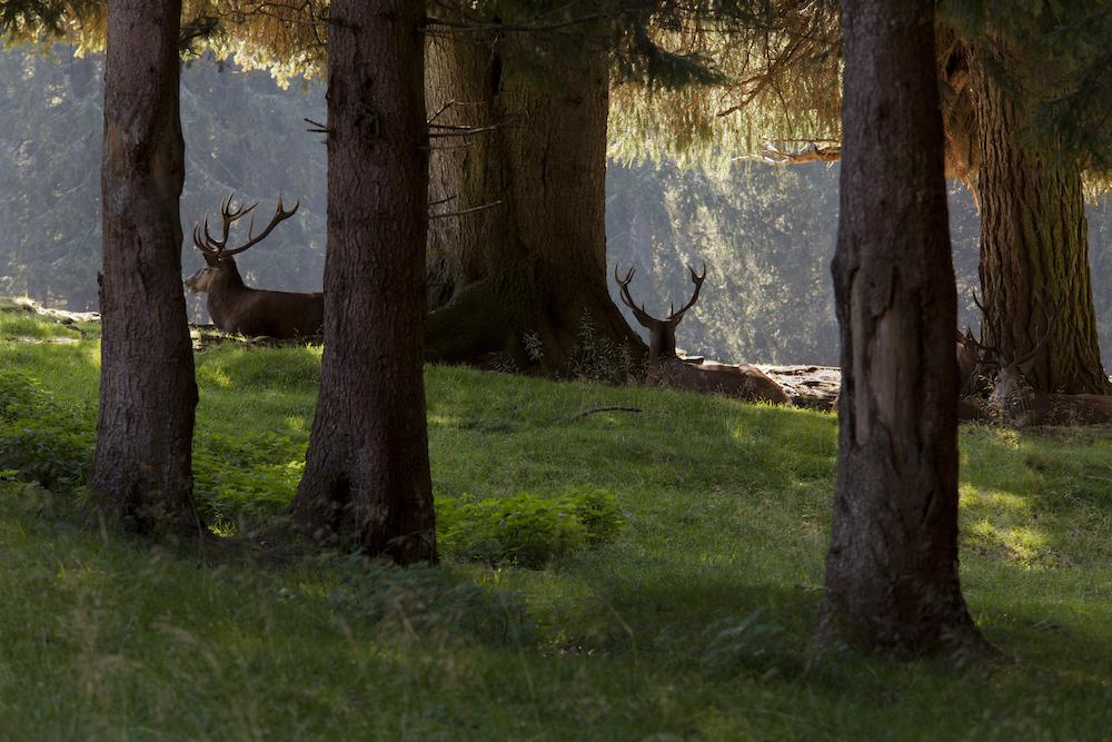 Deer, Paneveggio Pale di San Martino natural Park, Predazzo, Fiemme valley, Trento province, Trentino, Trentino Alto Adige, Italia, Italy